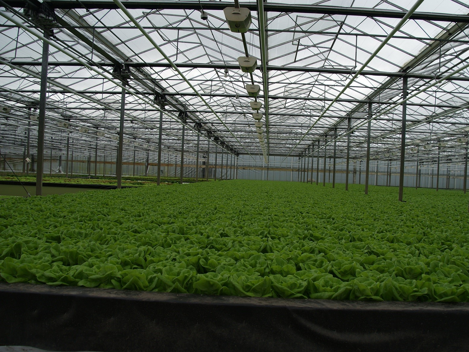 Growing lettuce on water in the greenhouse.